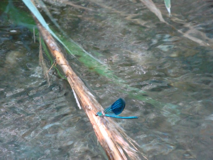 Blue dragonfly with two-coloured wings - Barefoot walk along the Megalos Potamos river (Ο Μεγάλος Ποταμός).