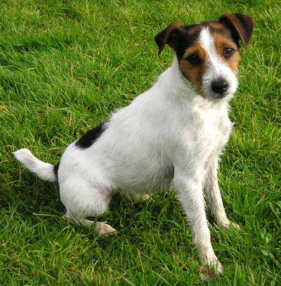 Parson Russell Terrier-woman's best friend!