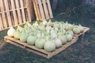 Information on drying gourds for crafts