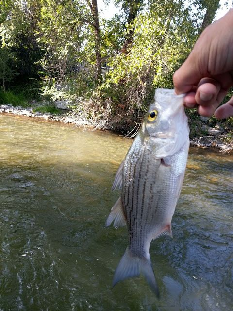 White bass, striper hybrid, fishing, lake fishing, striper, summer fishing, River fishing