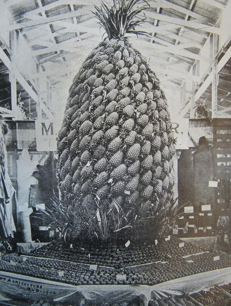 Giant display of pineapples at the 1906 Brisbane Exhibition. From Queensland Agricultural Journal, October 1906