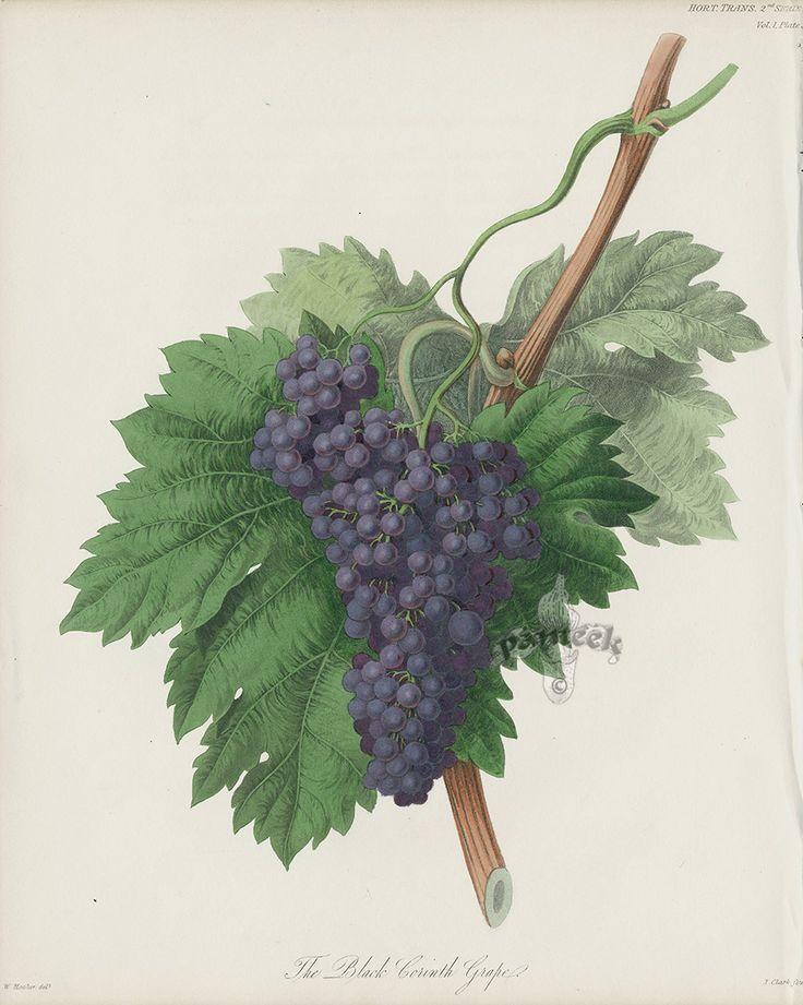 Black Corinth Grape, Heirloom Grape Print from Antique Prints of Strawberries, Roseberry Strawberry, Cherry, Brabant Apple, Heirloom Grapes