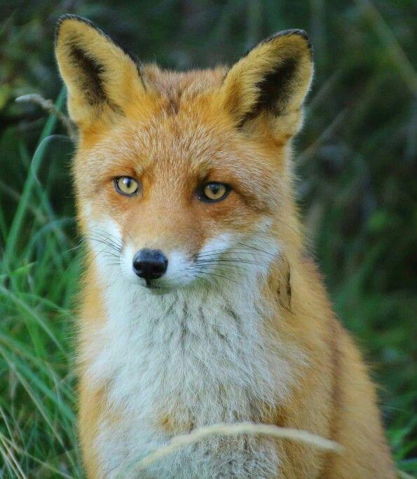 Fox in the Amsterdamse waterleiding duinen