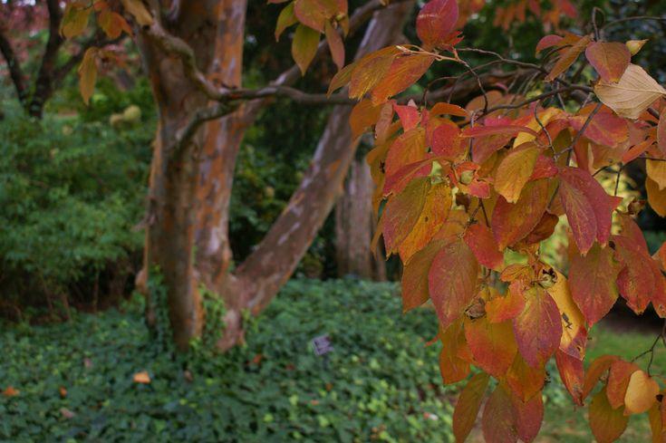 Pseudocamellia stewartia plantas jardin japones - Plantas jardin japones ...