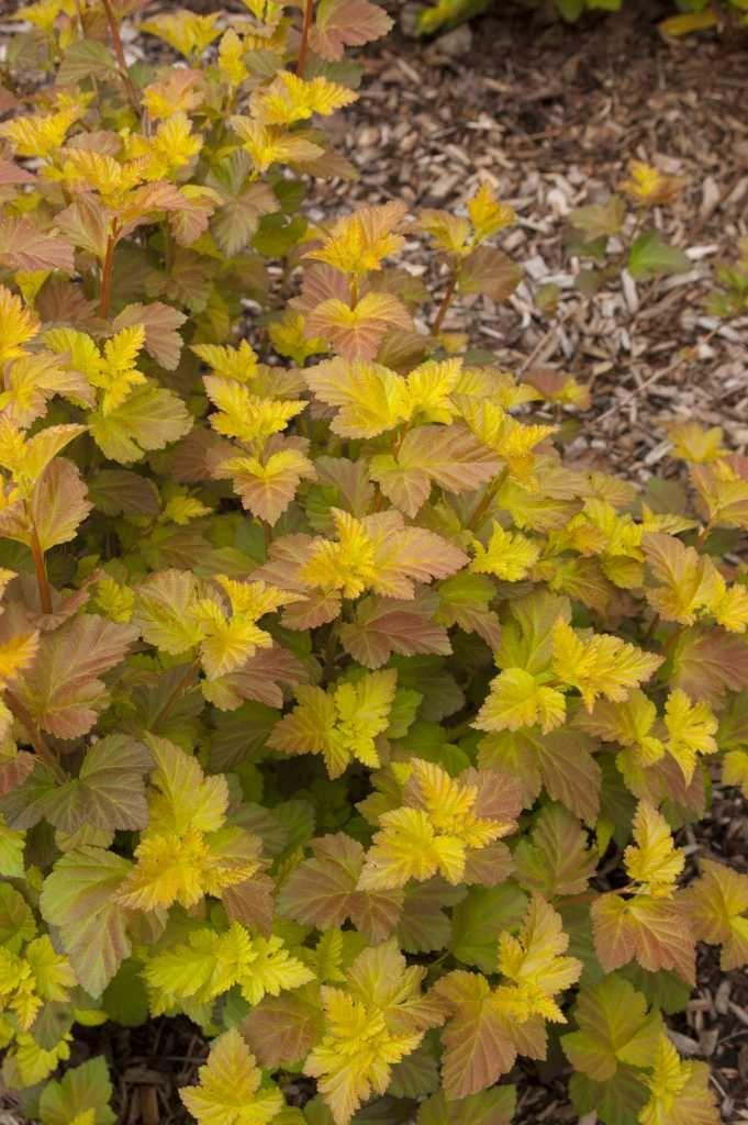 107 best ninebark shrub images on pinterest shrubs. Black Bedroom Furniture Sets. Home Design Ideas