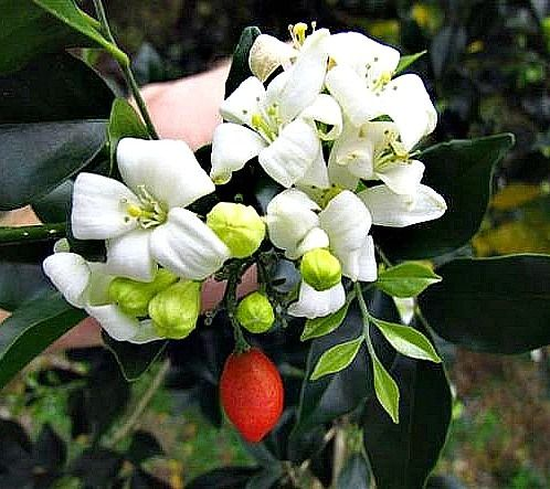 best images about white fragrant flowers on, Natural flower