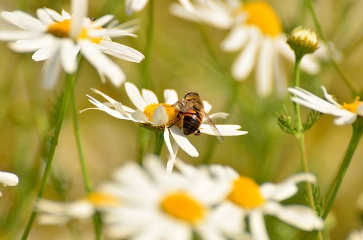 Get to Know the Versatile Chamomile Plant - Herbal Academy blog