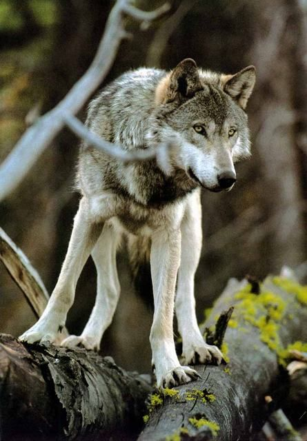 Wolf  Warrior of the woods