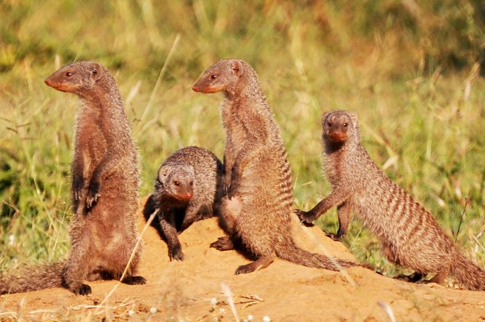 #MongenaPrivateGameReserve #Banded-Mongoos #Wildlife #Nature