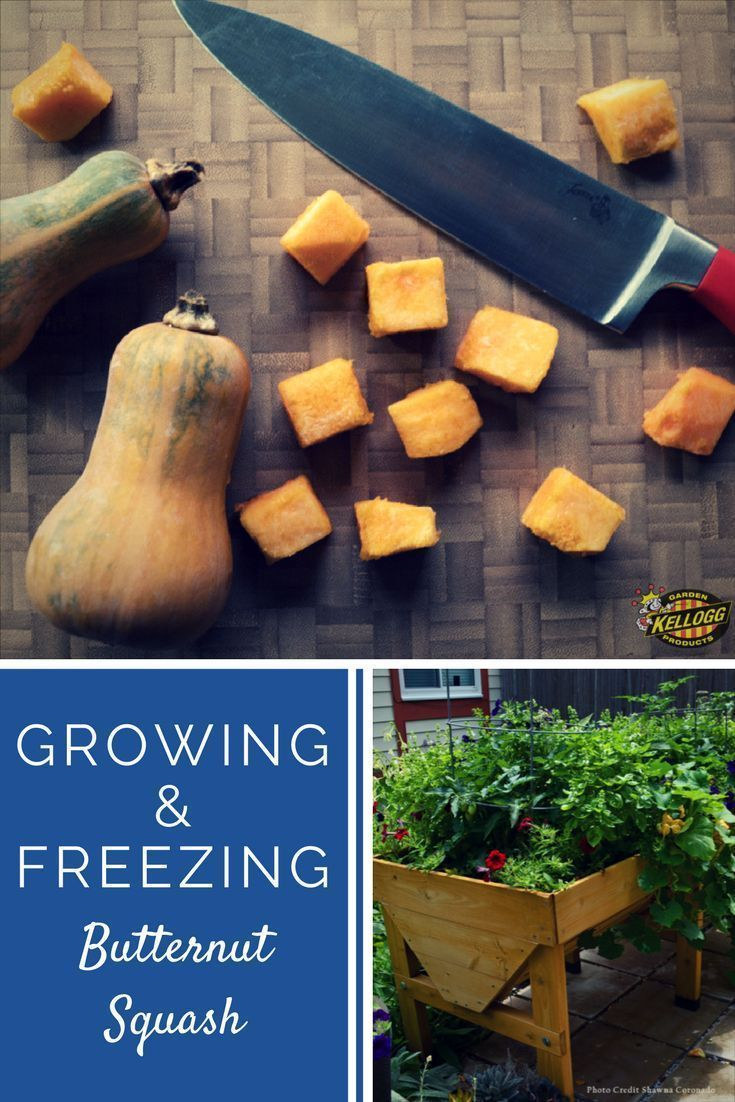 Growing And Freezing Butternut Squash Freezing Butternut Squash Home Grown Vegetables Organic Vegetables