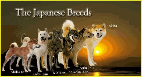 Several people I know have a Japanese Akita and a Shiba Inu...many physical similarities.