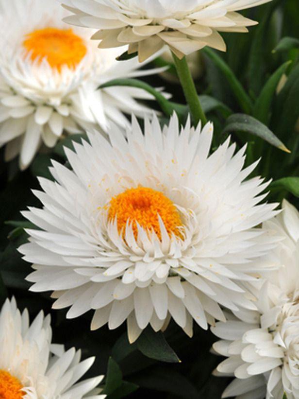 Dreamtime Jumbo White Strawflower