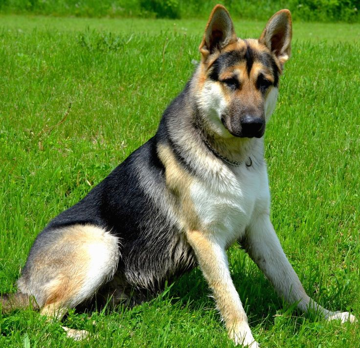 17 Best images about German Shepard Puppies on Pinterest ...