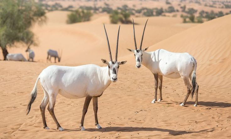 Arabian oryx inside Dubai Desert Conservation Reserve. (Photo: Kertu)
