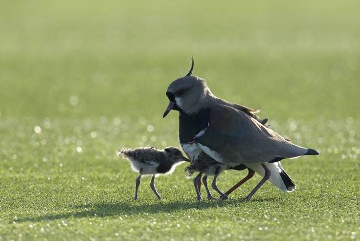 A female tero bird and its chicks are seen during Argentina's football team training session in Ezeiza, Buenos Aires