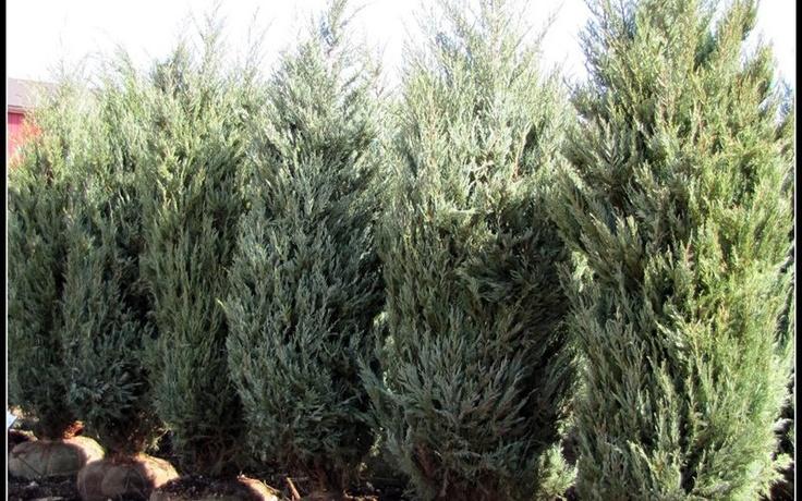 How Much Is 4 Quarts >> Moonglow Juniper hedge | Garden | Pinterest | Hedges