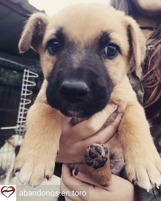 Reposted From Abandonos En Toro Get Regrann Acogida O Adopción Urgente El Sábado Tiene Que Dejar El Sitio Donde Está Labrador Retriever Labrador Dogs