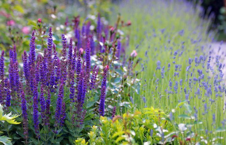 Lückenfüller Salbei und Lavendel Bilder und Fotos