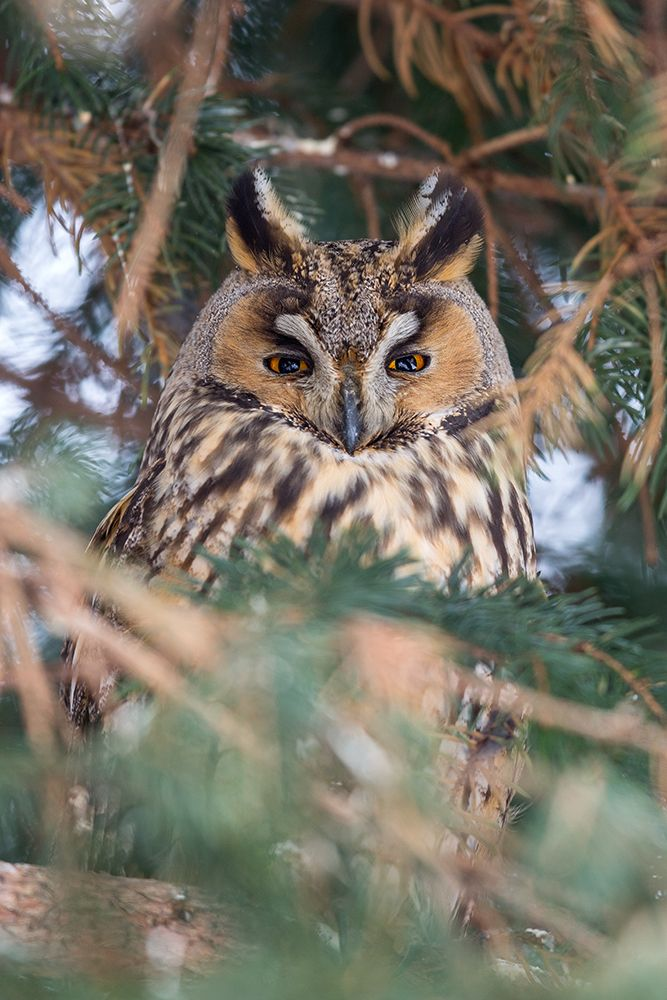 Long-eared owl Waldohreule