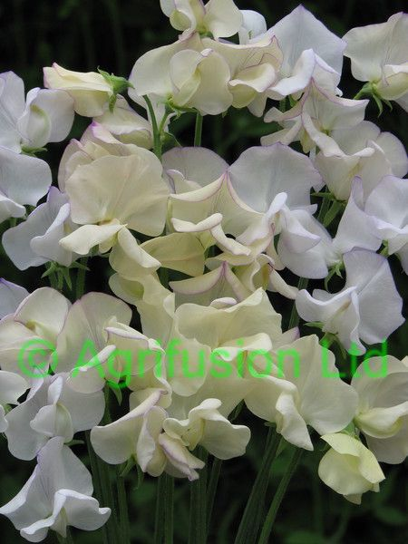 vanilla ice cream sweet pea - Google Search