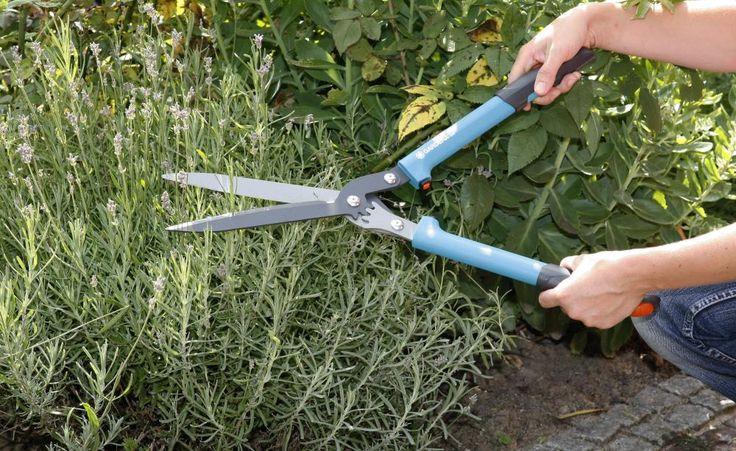 Lavendel richtig schneiden - Wenn Lavendel auch nach mehreren Jahren noch kompakt wachsen und üppig blühen soll, muss man ihn regelmäßig schneiden. So wird's gemacht.