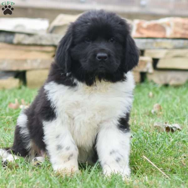 Roosevelt Newfoundland Puppy For Sale In Pennsylvania Newfoundland Puppies Puppies For Sale Puppies