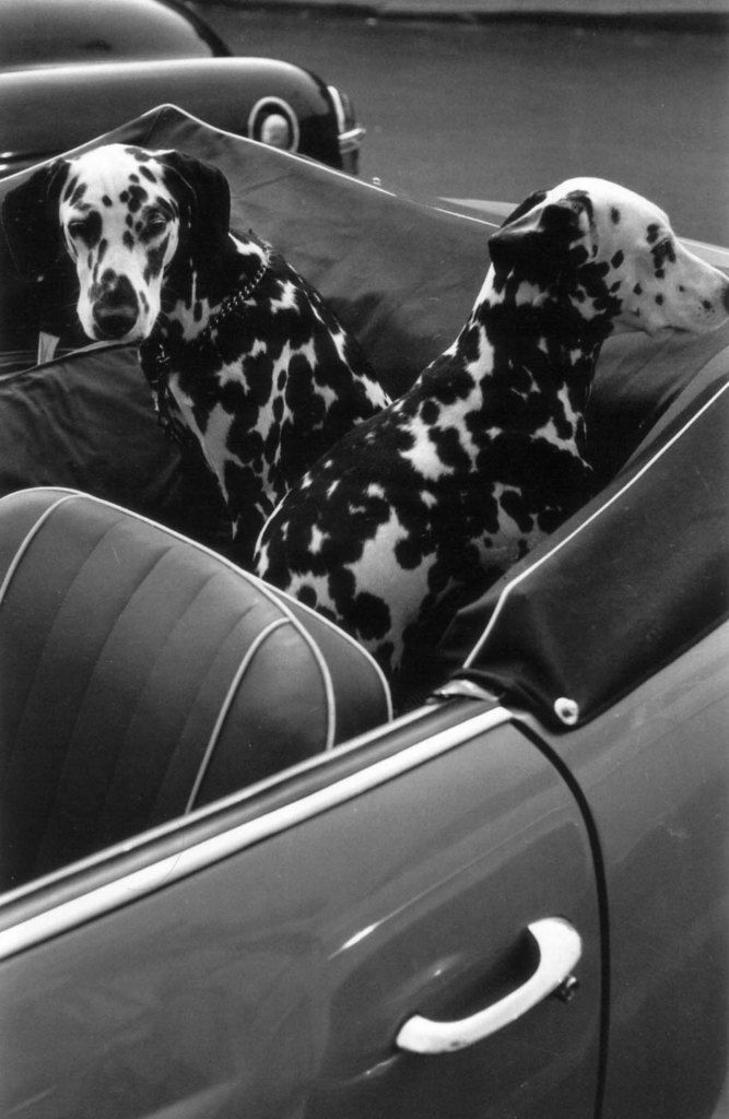 NYC c.1956-56. ©Louis Stettner..couple of spotted dogs traveling around with the top down...hope it does not rain..enjoy your travels togther my spotted beauties..Peace B w U www.capemaytraveldogs.com