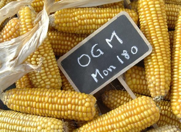 Monsanto: stop alla vendita di semi OGM in Italia