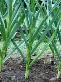 Harvesting Garlic: Happy Endings….read more...