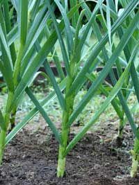 Harvesting Garlic: Happy Endings….read more...