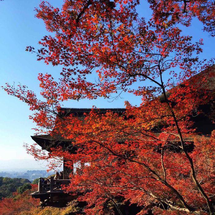 Момидзи - сезон красных кленовых листьев! (700x700, 293Kb)