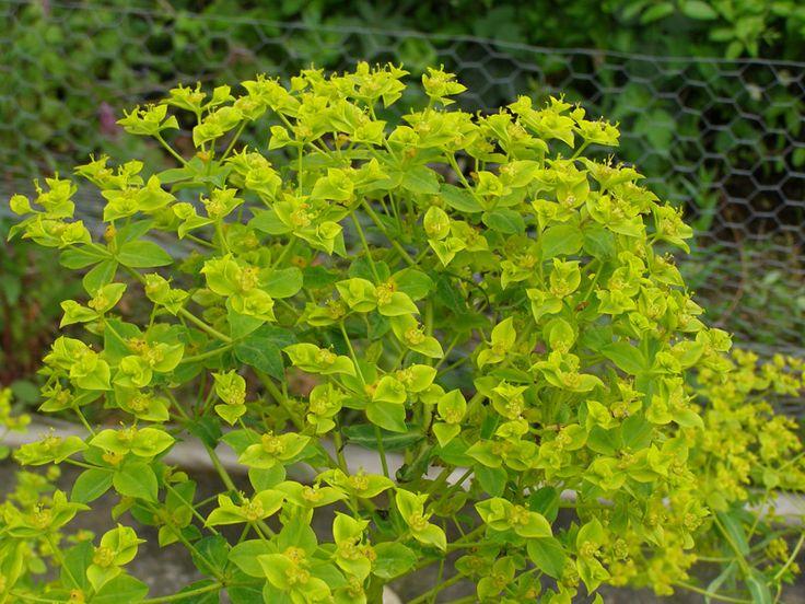 Euphorbia ceratocarpa -Spurge