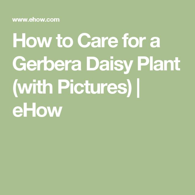 how to take care of daisy plants