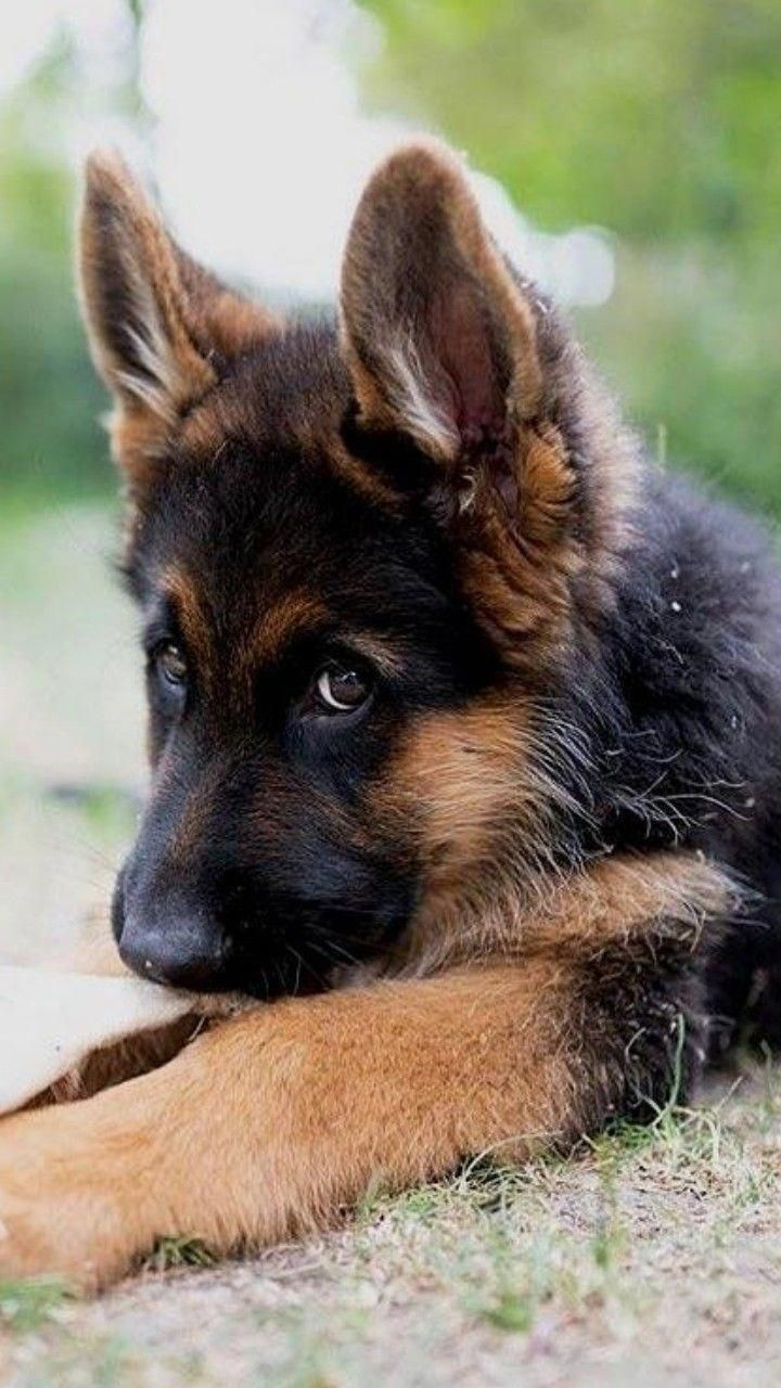 Everything About The Loyal German Shepherd Puppies Exercise Needs