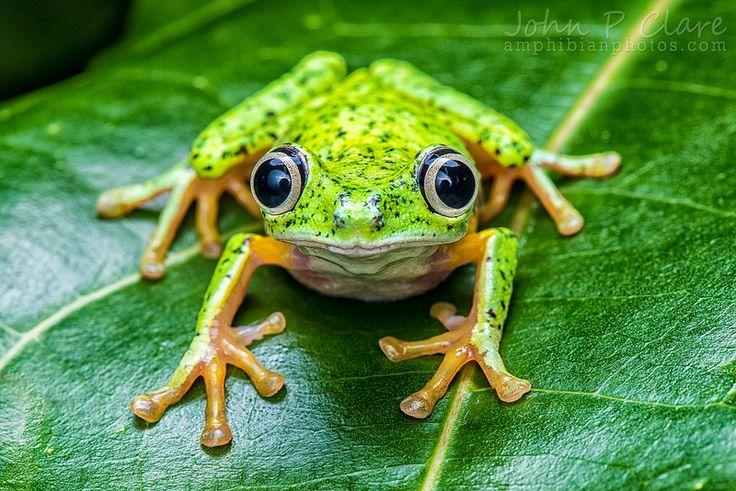 Lemur Leaf Frog (Hylomantis lemur) by John P Clare on Flickr.