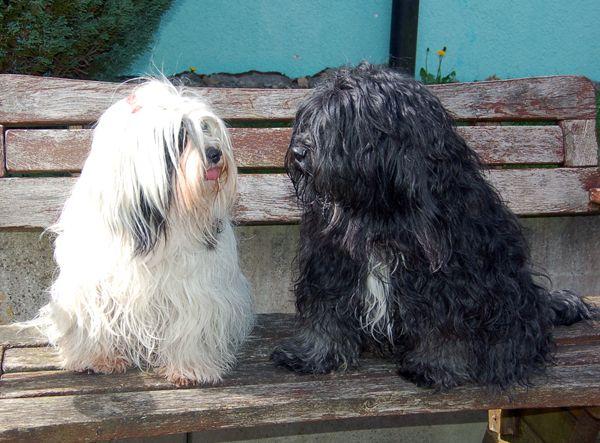 Tibet Terrier Rangshi Hobbyzucht U Wurf Tibet Terrier Hunderassen Terrier