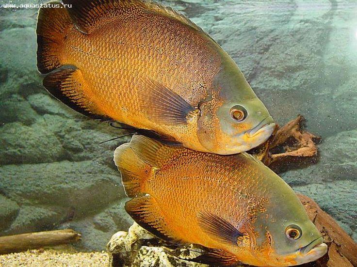 Les 25 meilleures id es de la cat gorie poissons oscar sur for Peluche carpe koi