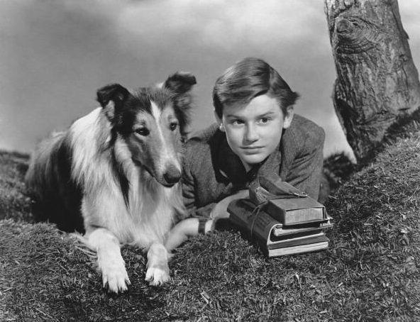 Lassie, cane,collie, protagonista  film, serie televisive, cartoni animati, fumetti , romanzi, Lassie , dog, collie, starring film , TV series , cartoons , comic books, novels