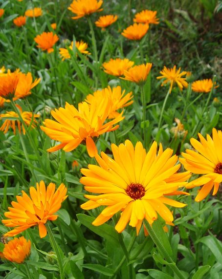 Calendula officinalis, English marigold, edible flowers- bitter, tangy to peppery- poor man's saffron