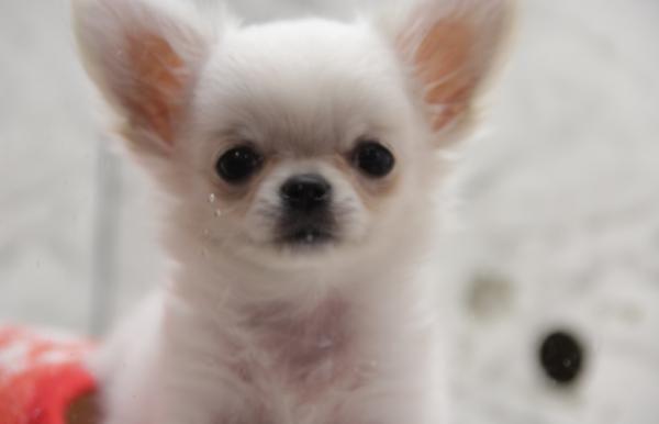 Hipoglucemia en perros - Causas, síntomas y tratamiento - ExpertoAnimal