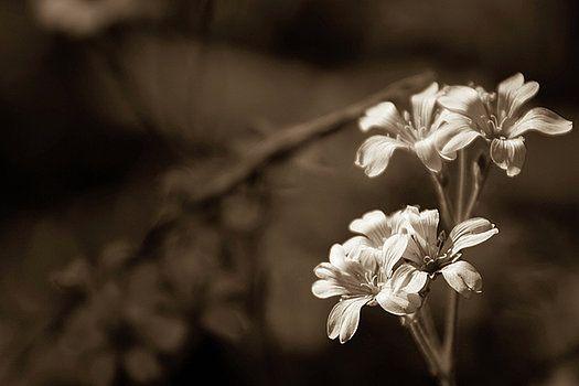 Sepia tenderness by Olga Olay  #OlgaOlayFineArtPhotography #ArtForHome #FineArtPrints #Flower