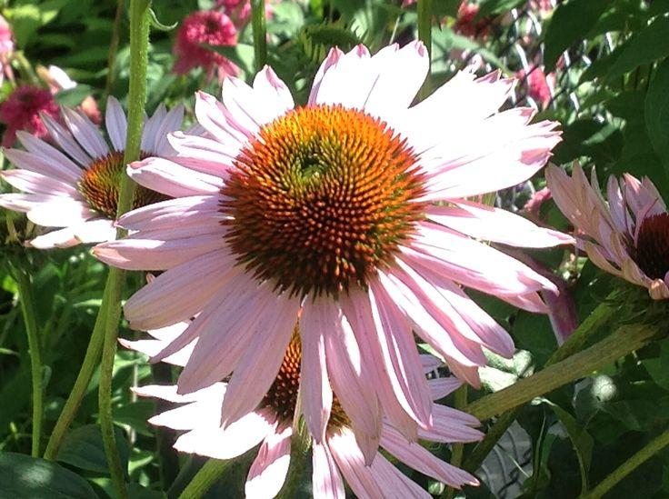 Hope echinacea