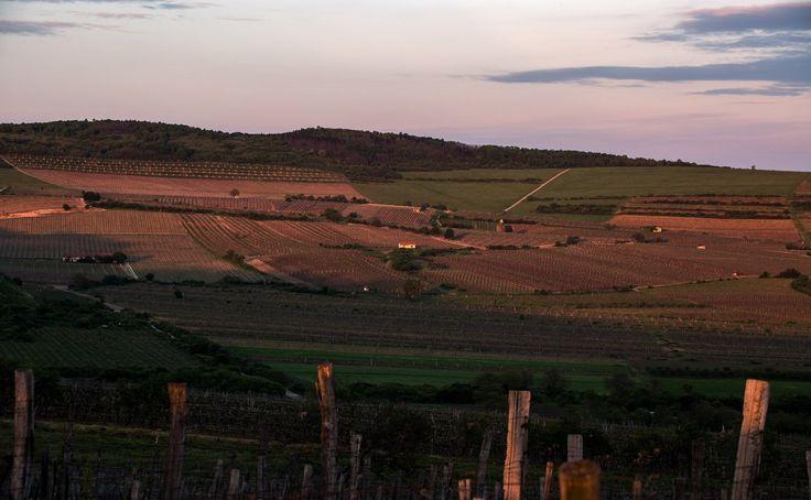 A BECSEK DŰLŐ – KIMAGASLÓ FURMINT ÉS HÁRSLEVELŰ DŰLŐSZELEKTÁLT BORAINK TERMŐHELYE  Becsek /Betsek/ a Tokaji bortörténelem 300 dűlője közül az egyik legkiválóbb. A Mádi határ 42 első osztályú dűlője közül a legnagyobb, területe 94 ha.  #Holdvölgy #wineregion #wine #tokaj #winery  Becsek dűlő, Tokaj, Mád, Holdvölgy