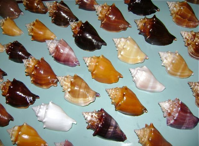 florida Fighting conch color types