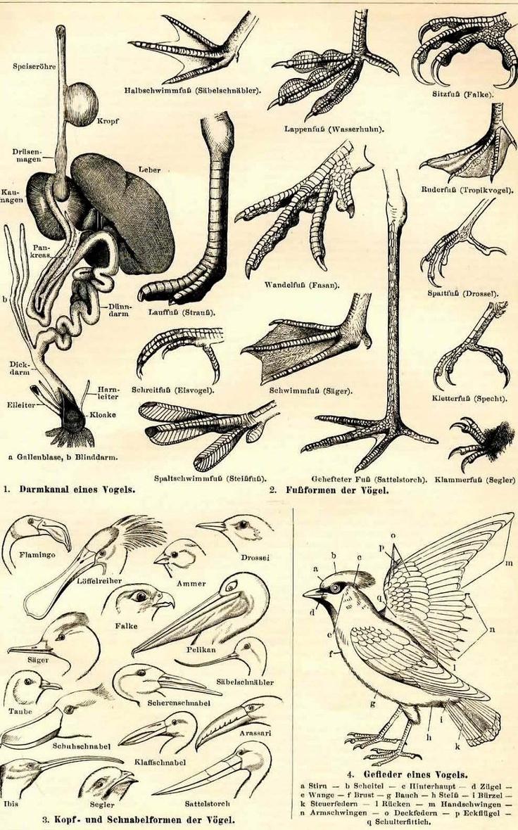 22 best Animals: Birds Anatomy images on Pinterest | Animal anatomy ...