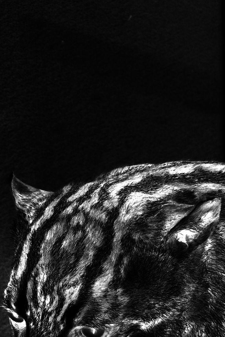 Beautiful Felino S W Photo versiegelt hinter Acrylglas Formate A A