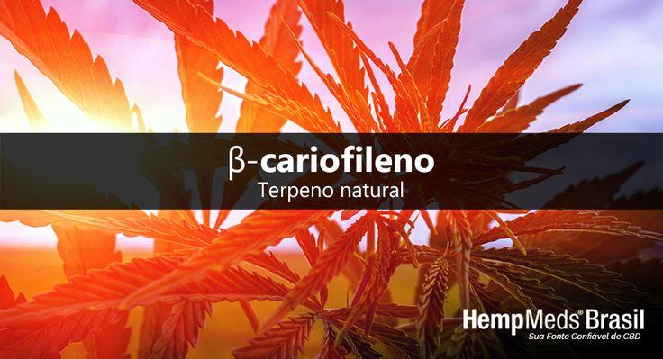 Além do CBD, o óleo de cânhamo integral oferece benefícios de muitas outras substâncias. O cânhamo contém traços de outros canabinoides, vitaminas essenciais, minerais, ácidos graxos, flavonoides e terpenos. Dentre os diversos compostos do cânhamo estão os terpenos, um tipo de fitoquímico encontrado em uma variedade de outras plantas. Os terpenos são responsáveis pelo aroma e sabor de uma planta e podem ter vários usos, uma vez que interagem com muitos tipos de enzimas e receptores…