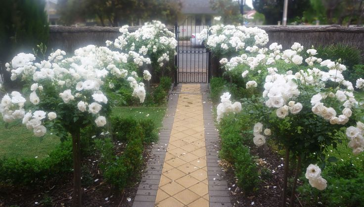 standard rose 'iceburg' this white blooming variety stays green most of winter.