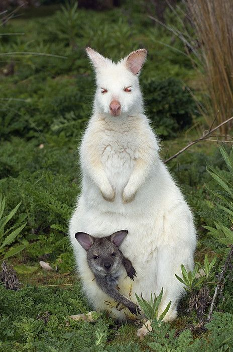 A white Bennetts or Painted Wallaby and joey. #wallaby #tasmania #discovertasmania. Image Credit: Tony Camacho
