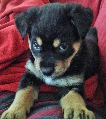 """Jackson the Rottweiler puppy  """"Stop teasing me; I'm gonna get big, you know."""""""